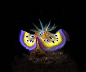 beautiful Nudibranch by Johnny Chiou