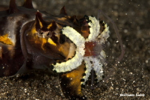 Bang!!! you can hear it!!! its a popcorn shrimp (Periclim... by William Loke