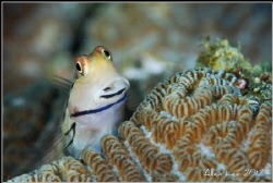 I love Blenny.Nikon D80,105VR,f10.1/100,YS-120*2. by Allen Lee