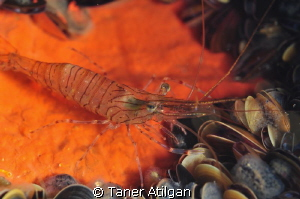 Shrimp by Taner Atilgan