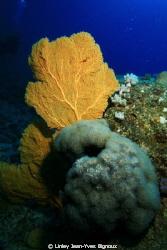Mon Choisy 25 metres ,Sea Fan .This site has plenty of la... by Linley Jean-Yves Bignoux