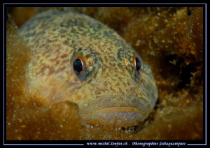 Face to face with this young Bullhead, freshwater sculpin... by Michel Lonfat