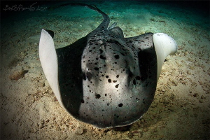 Stingray at night / Maaya Thila - North Ari Atoll by Boris Pamikov