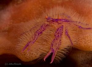 Squat Lobster by John Roach