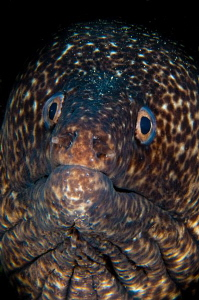 Spotted Moray by Paul Colley