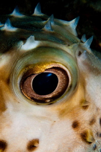 Porcupinefish close up by Paul Colley