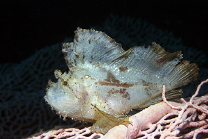Jumping Sheet IV that smal Leaf Scorpionfish was on a Go... by Jörg Menge