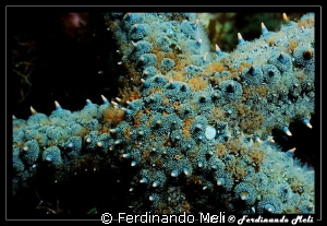 Starfish (Marthasterias glacialis). by Ferdinando Meli