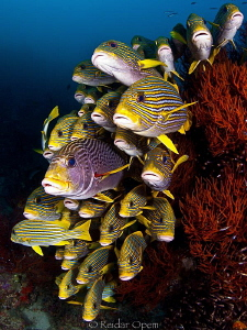 Sweetlips at west mansuar by Reidar Opem