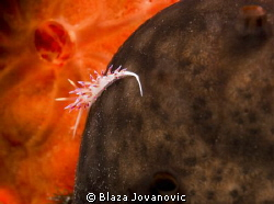 "A very tiny flabellina on sponge with that kind of ""2001:... by Blaza Jovanovic"
