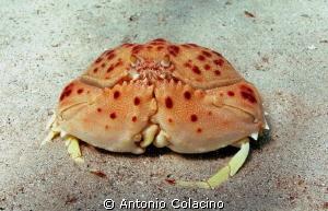 Calappa granulata, a deep sea crab. by Antonio Colacino