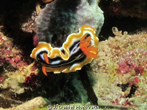 Chromodoris magnificia by J. Daniel Horovatin