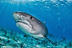 A Blue Spot Tiger Shark doing a swim by. All Smiles ! by Mike Ellis