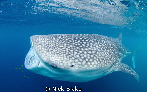 A whaleshark feeding in the Gulf of Aden, Djibouti. Natur... by Nick Blake