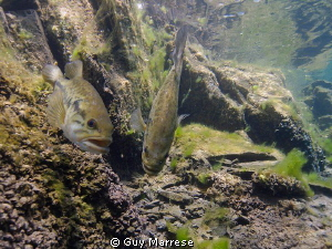 Large mouth bass hanging on there nest. It looks like th... by Guy Marrese