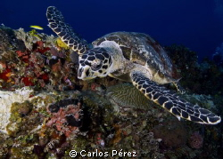 Close up to a Hawksbill in Wit Concrete wreck St Thomas by Carlos Pérez