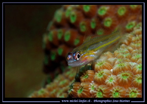 Little Goby on coral... :O)... by Michel Lonfat