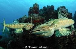 Two lizard fish swimming. by Shawn Jackson