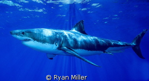Great White Shark by Ryan Miller