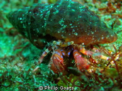 Blue Face Hermet Crab by Philip Goets