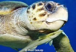 Caretta sea turtle hosting a remora fish. Two friendly f... by Mert Gokalp