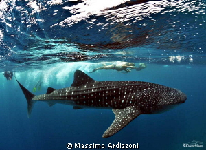 whale shark by Massimo Ardizzoni