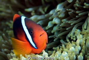 TOMATO CLOWNFISH Orchid Island Taiwan by Mickle Huang