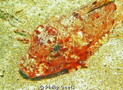 Bluefin Gurnard, Mossel Bay, South Africa by Philip Goets