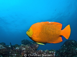 Clarion angel fish. Find these in the Socorro Islands, an... by Christian Nielsen