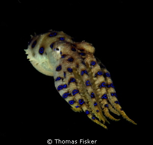 Blue ring octopus. Found yesterday in Lembeh Strait, on t... by Thomas Fisker