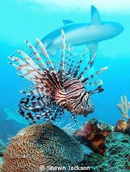 Lion fish and caribbean reef sharks. Roatan's shark dive. by Shawn Jackson