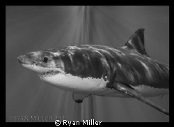 Great White Shark  by Ryan Miller