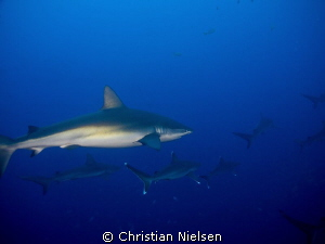 Galapagos and silvertip sharks at Roca Partida. by Christian Nielsen