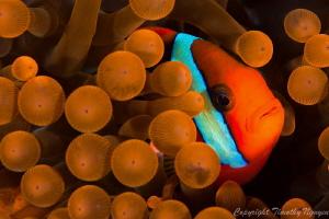Tomato Clownfish by Timothy Nguyen