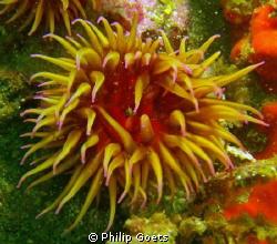 False Plum Anemone, Mossel Bay, SA by Philip Goets
