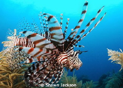 Lion fish. by Shawn Jackson