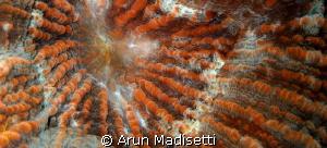 Warty Corallimorph close up by Arun Madisetti