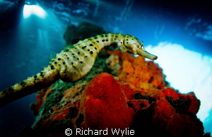 Pot Bellied Seahorse by Richard Wylie