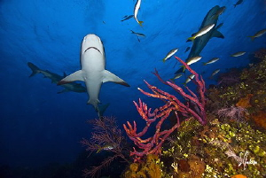 The Gliders of Ginormous Reef.....Reef Sharks dominate th... by Steven Anderson