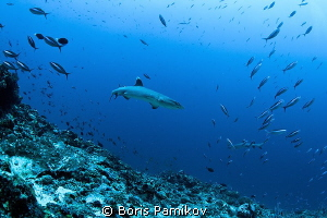 Whitetip Reef Shark in Bathala Maaga Kan Thila by Boris Pamikov