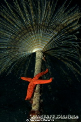 Red star under the umbrella of Tubeworm by Francesco Pacienza