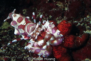 DINING Harlequin shrimp having starfish Northeast coast... by Mickle Huang