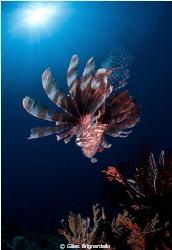 lion fish and sun, only 5 metr depth. Alor archipelago. by Gilles Brignardello
