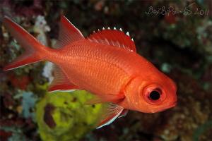 Blotcheye solderfish / Digga Thila - South Ari Atoll by Boris Pamikov