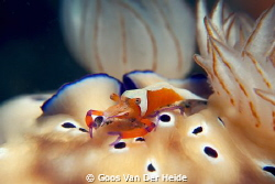 Emperor Shrimp on two Chromodoris Leopardus Nudies by Goos Van Der Heide