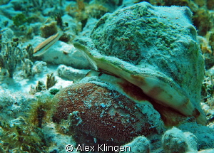 A silty environment so not too great a shot but interesti... by Alex Klingen