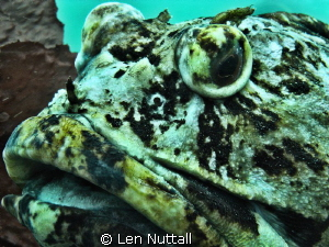 picture of a cabezon in the Edmonds Marine Park. by Len Nuttall