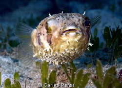 Juvenile Pufferfish Tetraodontidae by Carlos Pérez