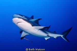 Caribbean Reef Sharks...Roatan, Honduras by Beth Watson