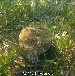 Peacock Flounder on the move by Mark Reasor
